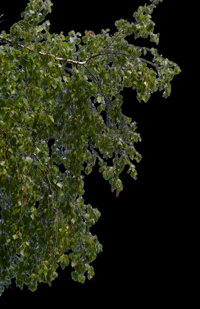 birch branches 2