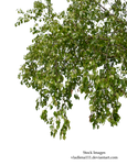 birch branches 3