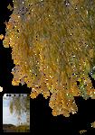 Autumn alder branches