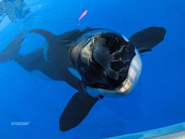 Killer Whale - Shouka by SweetUndine
