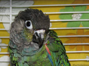 My Pearly Conure