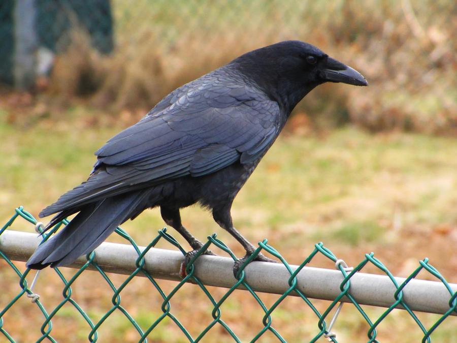 Crow by normaajean