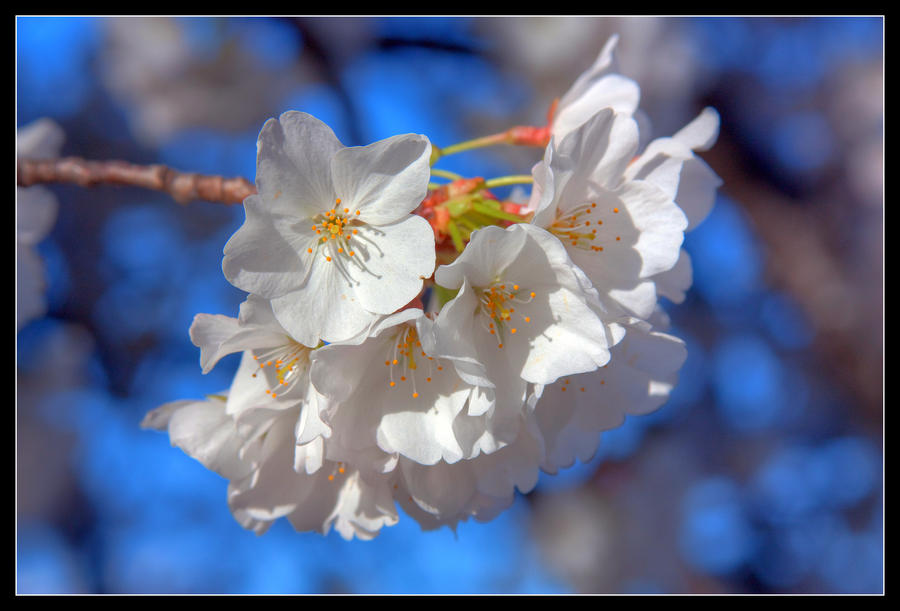 Almost Cherry Blossom by playdoh