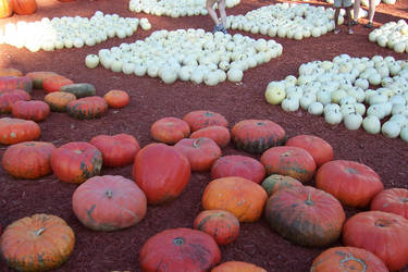 Pumpkin Patch 1 by Luscara-Nature-Stock