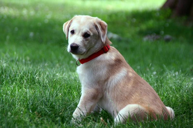Puppy stock Lab Huskey by mirrorimagestock