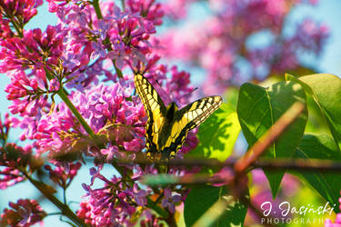 The Butterfly. by FavDA