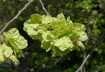 Elm Tree Seeds Ripening by bobswin