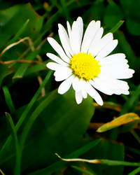 Sunny Daisy by NinimEigren