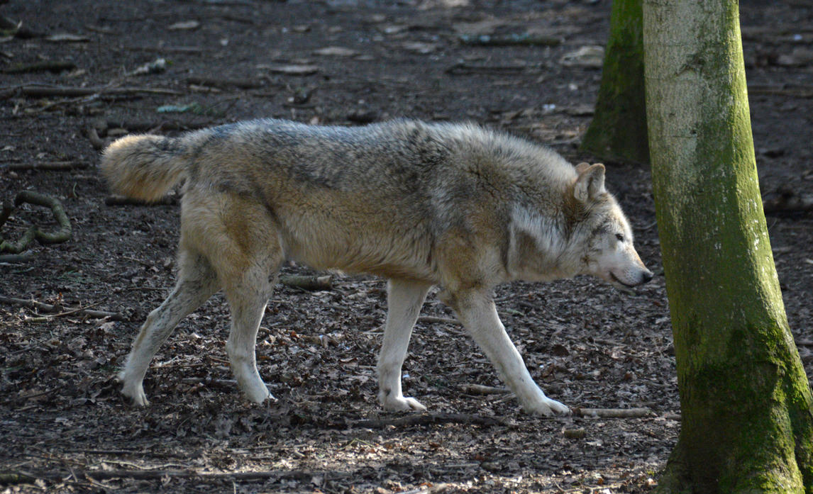 Northwestern Wolf Side View Stock by DrWheelieMobile on ...