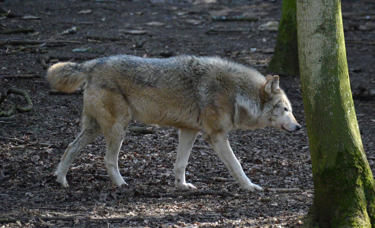Northwestern Wolf Side...