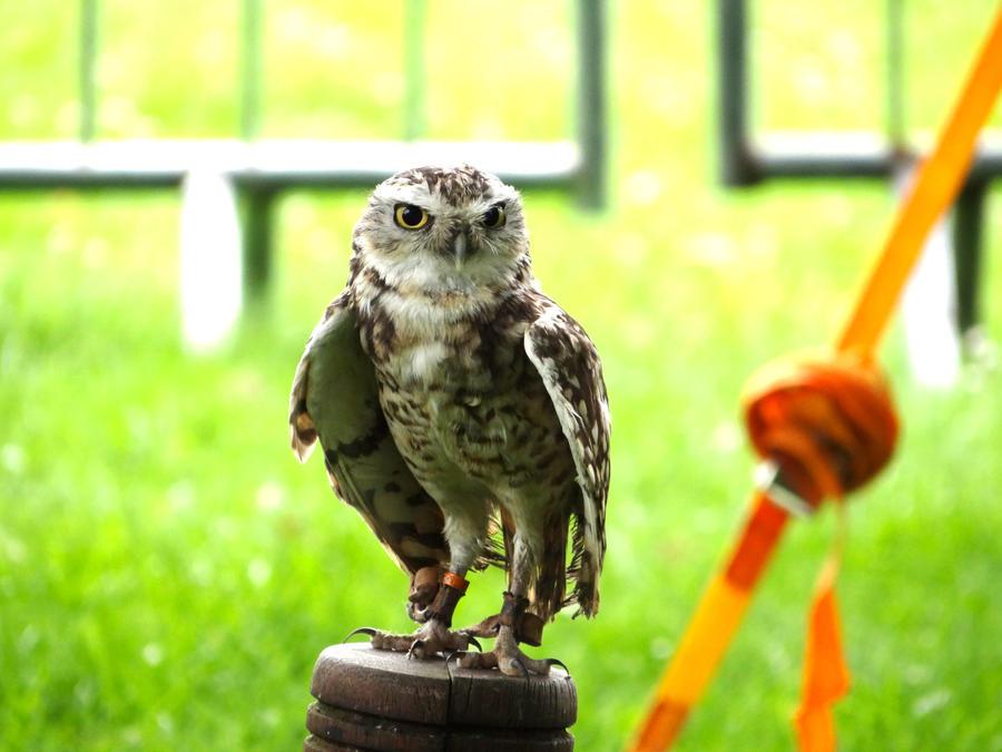 Little Owl by philk3r