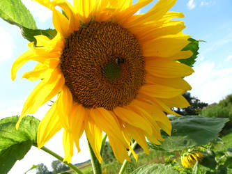 Sunflower by tinte