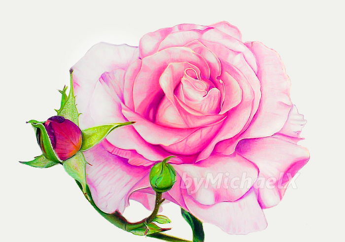 Drawing rose color pencil by bymichaelx