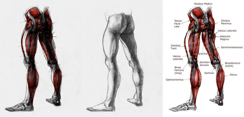 Leg Anatomy by Gnawsome-Opossum on DeviantArt