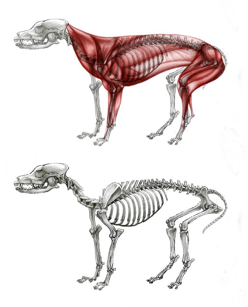 Dog Anatomy Study by Gnawsome-Opossum on DeviantArt