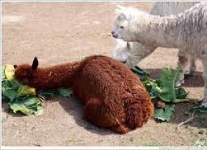 how to make a llama cake