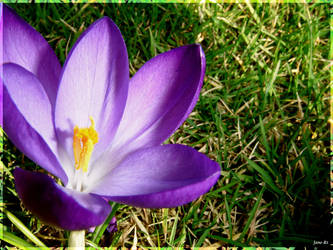 Crocus in the Grass 1 by Jane-Rt
