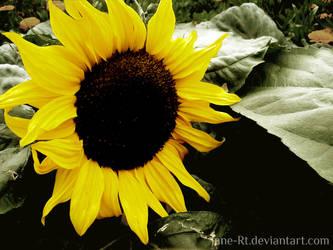 Bright Sunflower. by Jane-Rt