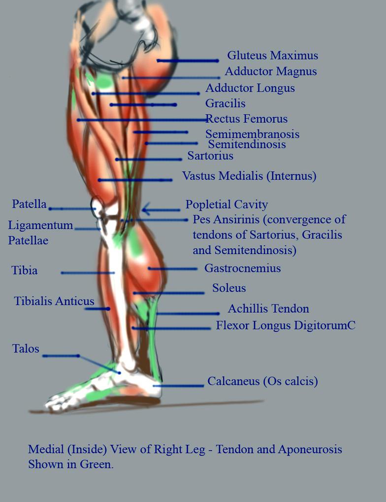 Inside Leg Anatomy by Sol-Caninus on DeviantArt