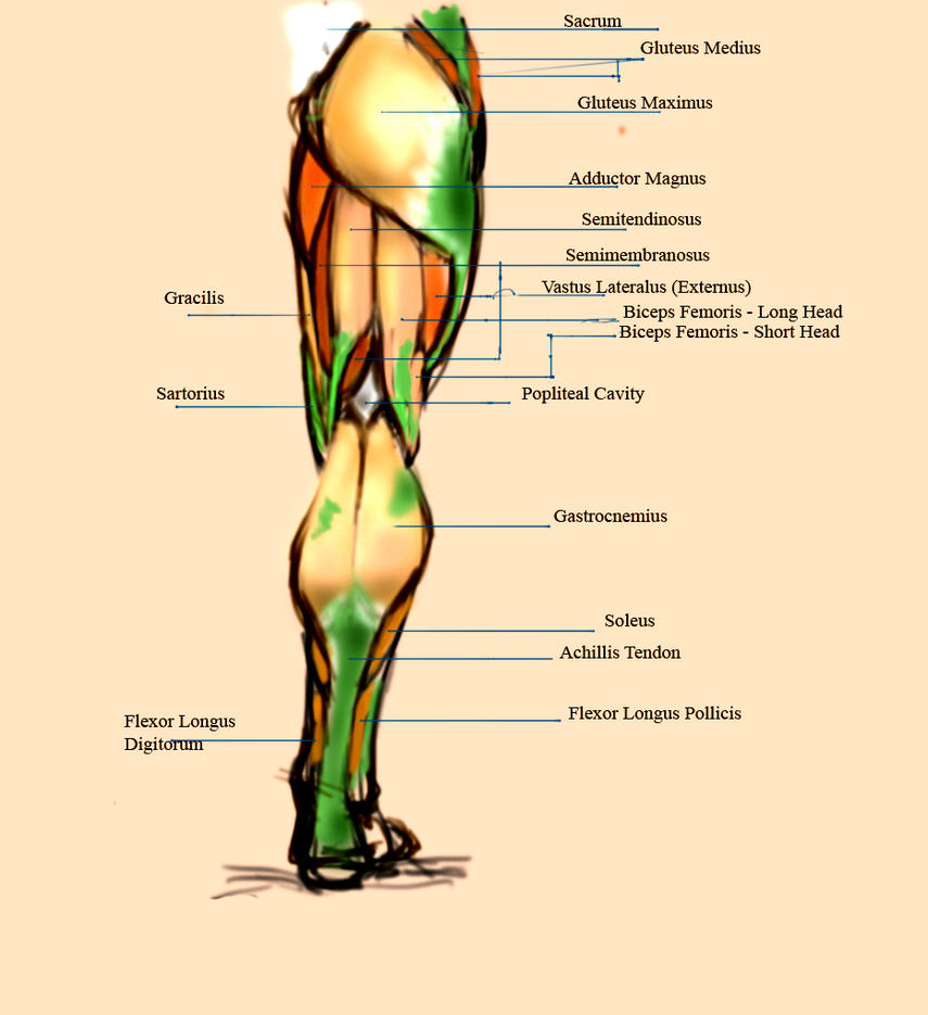 Rear-Leg-Anatomy by Sol-Caninus on DeviantArt