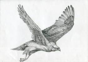 Hen harrier by FeatheredDiva