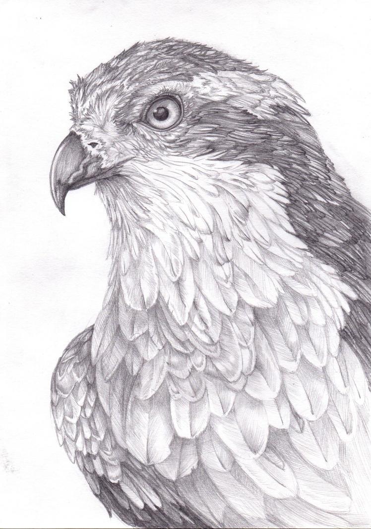 Osprey by FeatheredDiva
