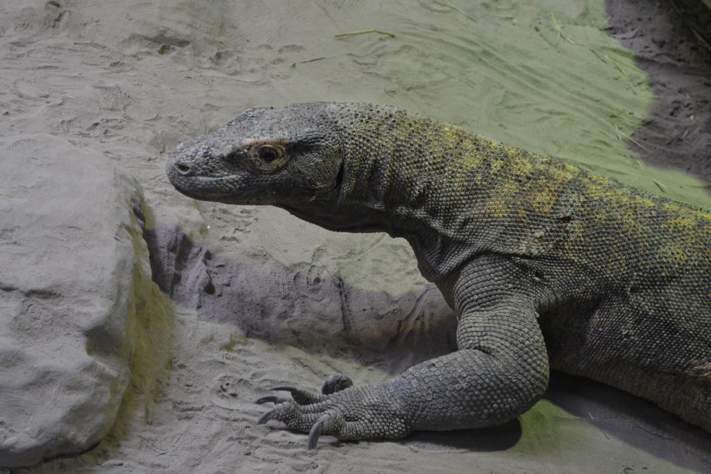 A Komodo Dragon by Jaws1996