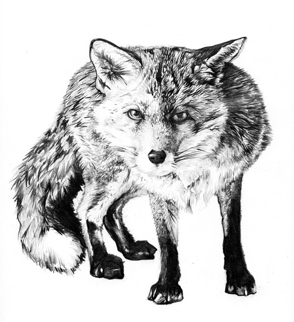This is a graphic of Punchy Fox Pencil Drawing