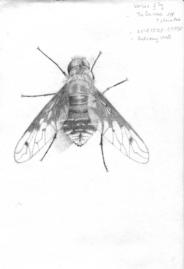 Male horse-fly (Tabanus striatus) by vidihausit
