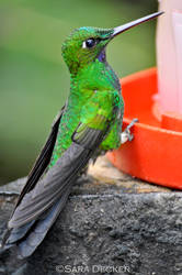 Green-crowned Brilliant at feeder