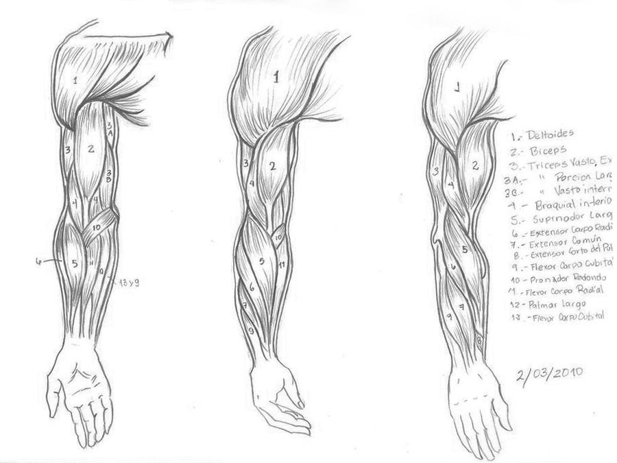 arm muscles  Arm Muscles Drawing