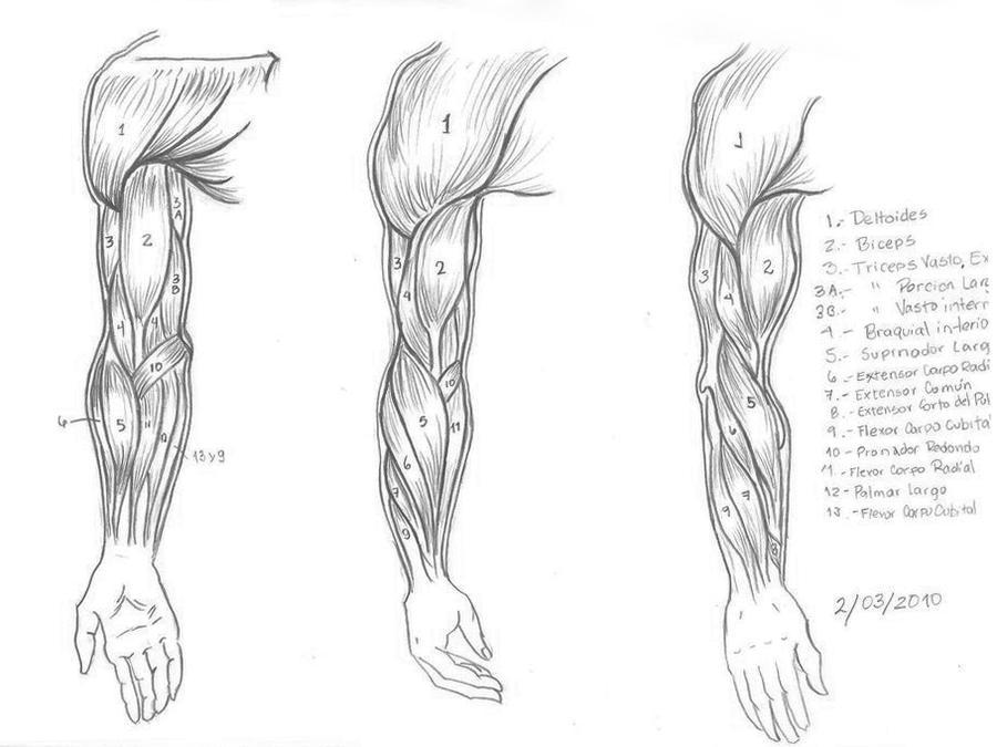 Arm Muscles By Romanbx On Deviantart