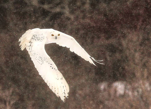 A Snowy Owl Approaches