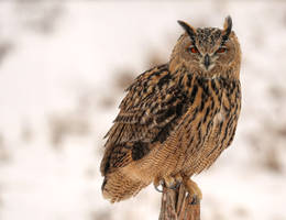 A Great Horned Owl on  His Perch
