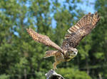 A Great Horned Owl Takes Flight