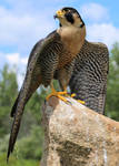Another View of This Exquisite Falcon