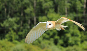 A Barn Owl Approaches Quietly