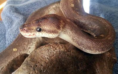 Snake on a Bone by CraniatesCloset