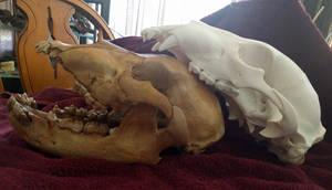 Cave Bear Comparison 2 by CraniatesCloset