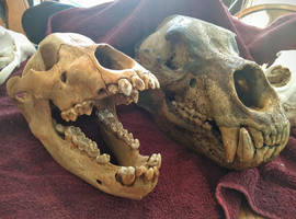 Cave Bear Comparison 3 by CraniatesCloset