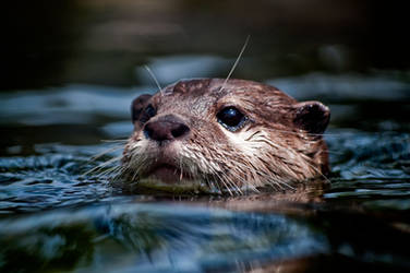 River Otters 7 by CharlesWb