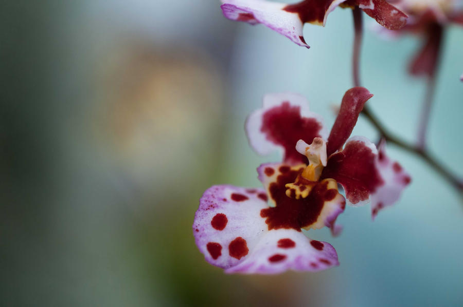 Orchid by CharlesWb