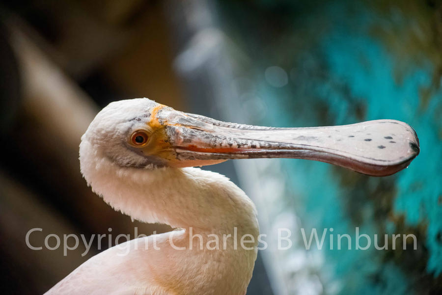 Spoonbill 1 by CharlesWb