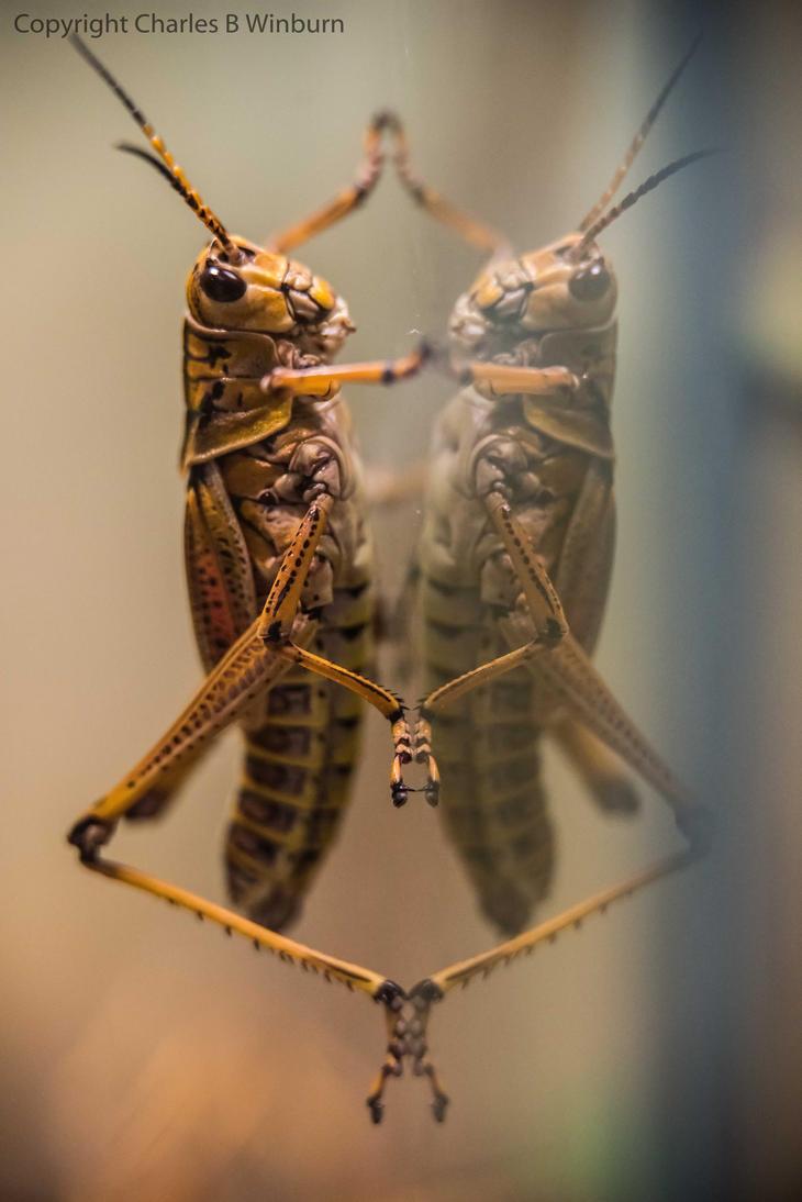 Grasshopper 1 by CharlesWb
