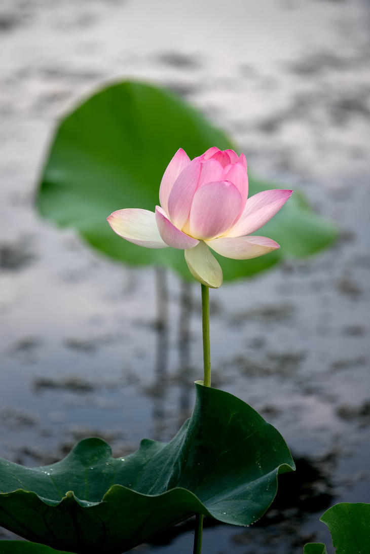 Water Lily 1 by CharlesWb