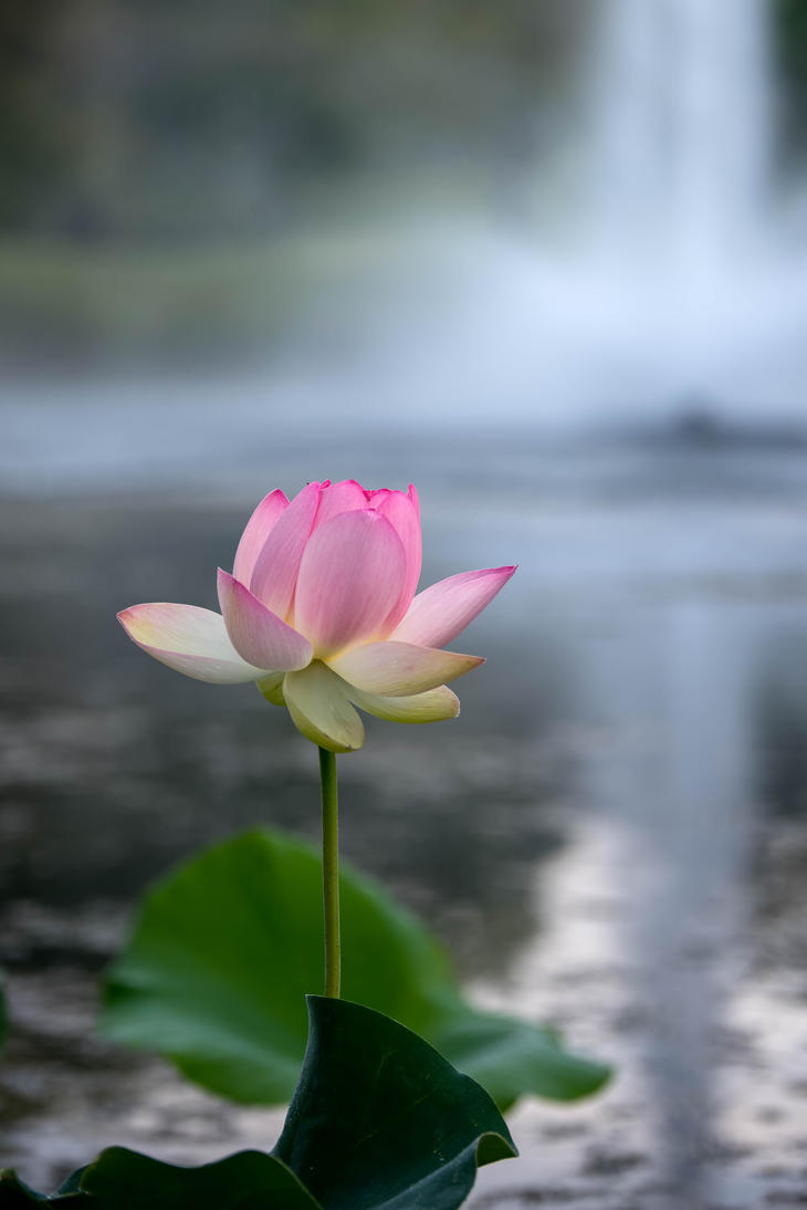 Water Lily 2 by CharlesWb