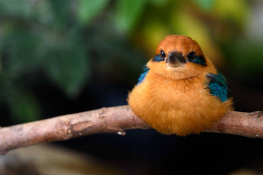 Micronesian Kingfisher 1