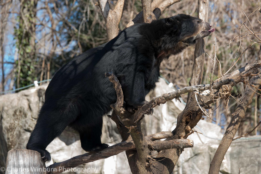 Andean Spectacled Bear 2 by CharlesWb