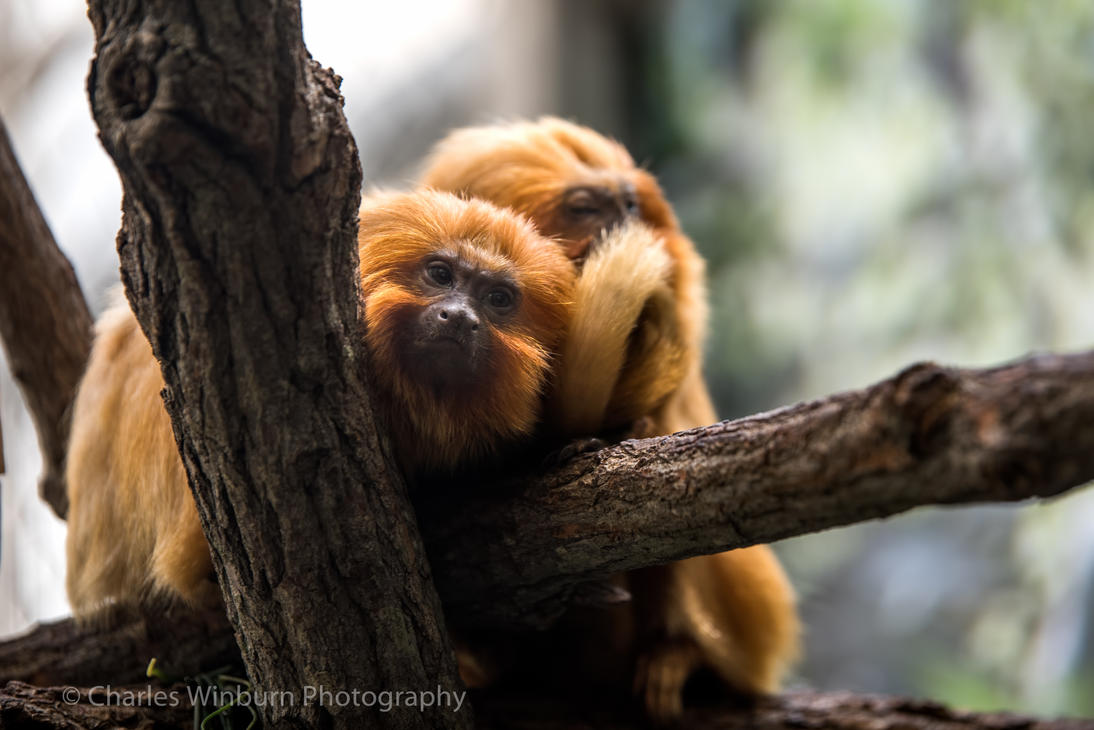Golden Lion Tamarin by CharlesWb