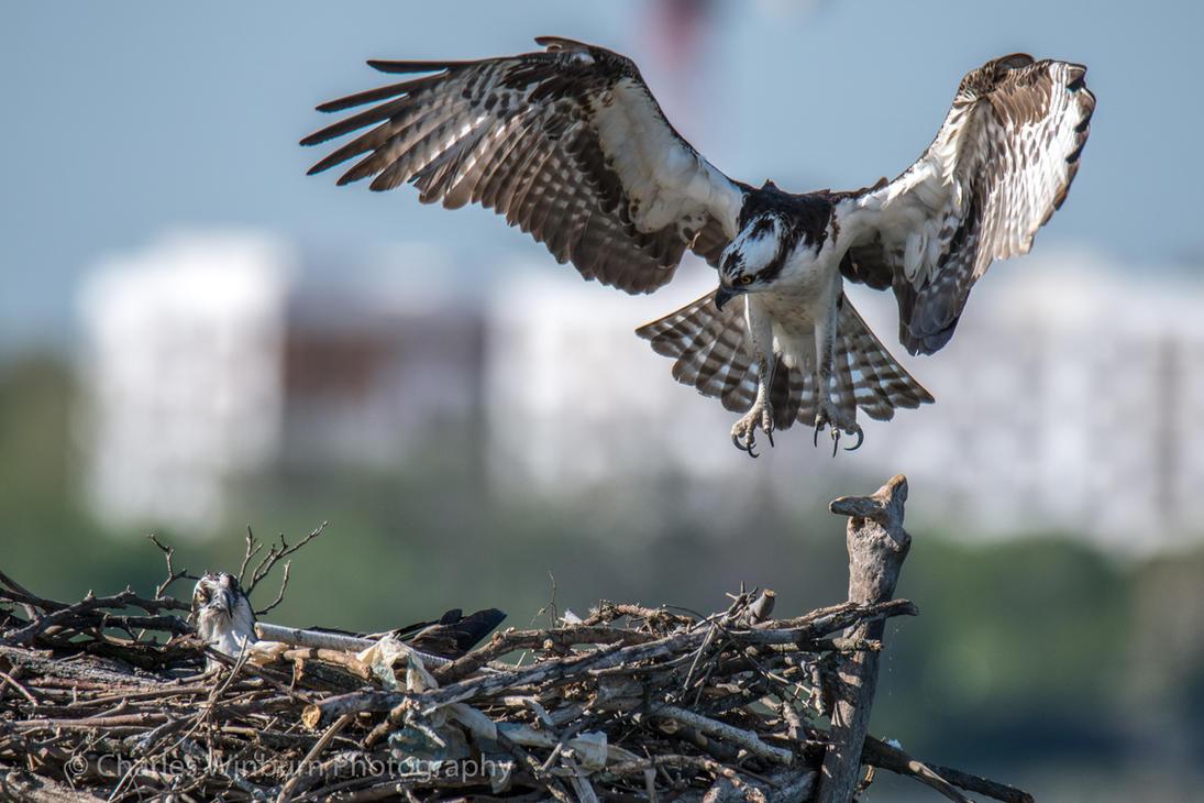 Osprey Landing 2 by CharlesWb